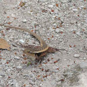 coba-ruins-lizard