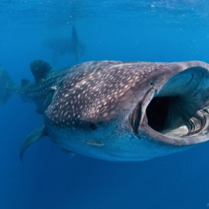 whale-shark-tours-playa-del-carmen