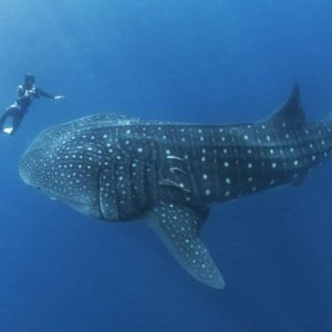 whale-shark-tour-playa-del-carmen