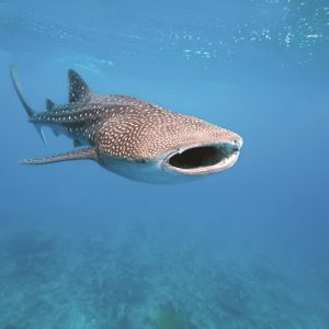 whale-shark-snorkel-tour