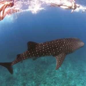 whale-shark-snorkeling