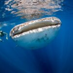 whale-shark-tour-playa