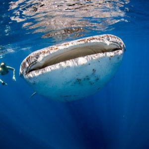 whale-shark-tour-playa