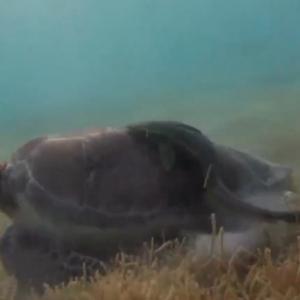 Snorkeling-turtle-tulum