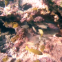 Snorkeling-yellow-fish