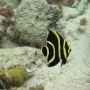 snorkeling-black-yellow-fish